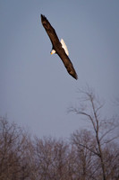 Eagles & Signs of Spring 2011-003